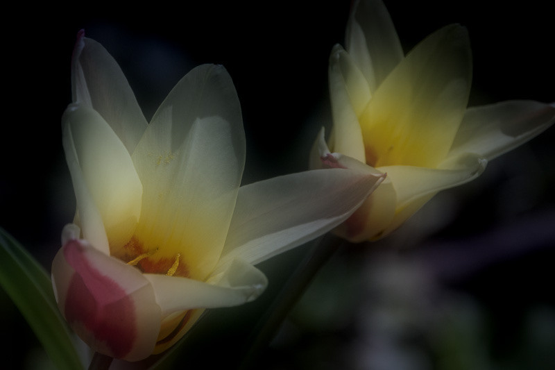 apr 3 - tulips.jpg