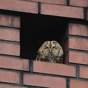 Bosuil; Strix aluco; Chouette hulotte; Tawny Owl; Waldkauz