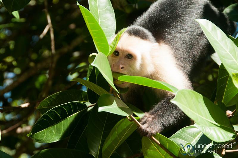 Capuchin Monkeys, Tortuguero - Costa Rica
