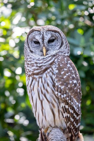 Screech Owl front.jpg