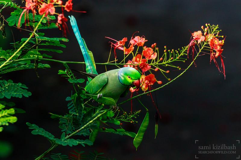 Rose-ringed Parakeet 2.jpg