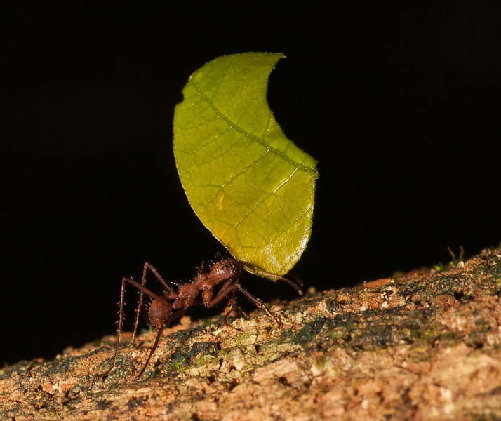 LEAFCUTTER SOLO 2-EDITED.jpg