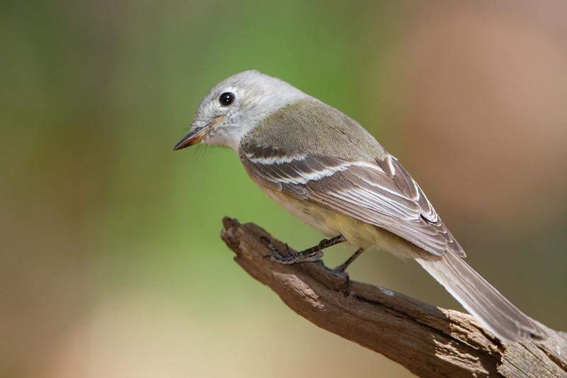 Dusky Flycatcher - Carr Canyon, AZ, USA