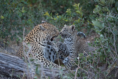 Leopard mother and son - Hunda Island - 06 2015