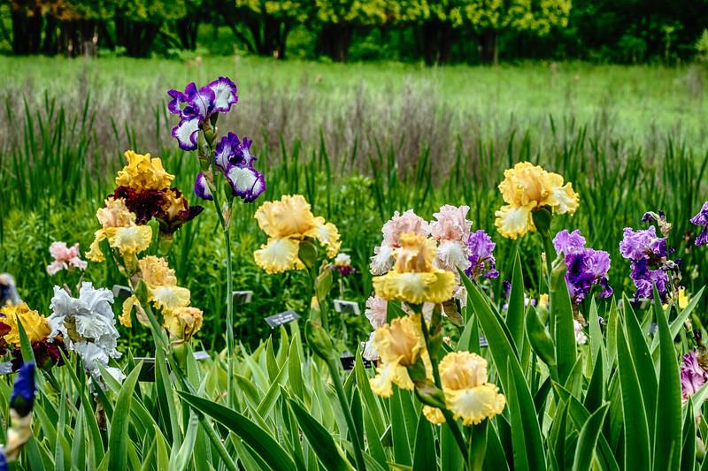Iris 8 Arboretum.jpg