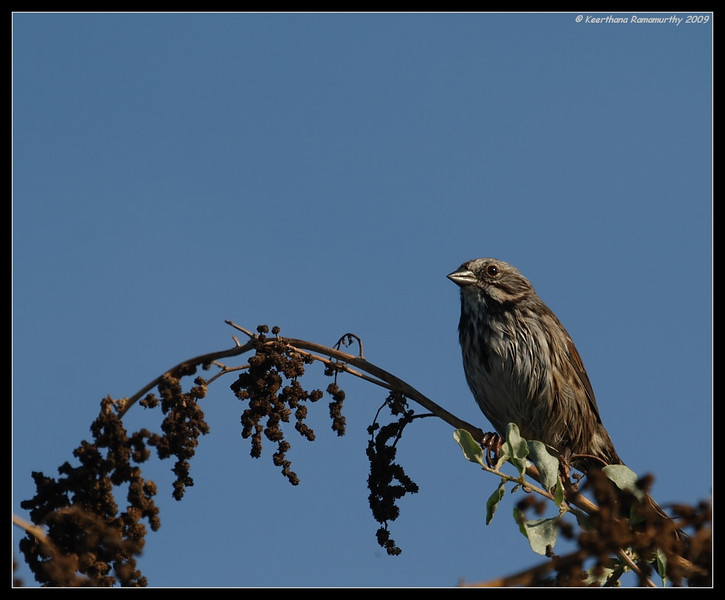 Song Sparrow, Famosa Slough, San Diego County, California, August 2009