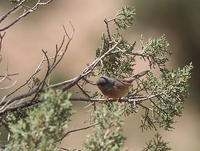 Atlaskerttu (Sylvia deserticola)