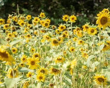 2021-08-04 Anna Ash Sunflowers