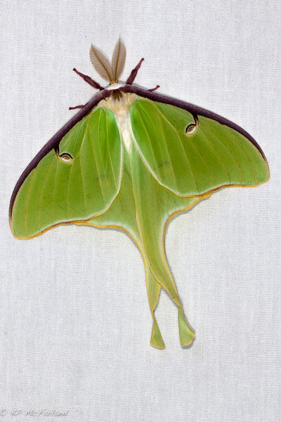 Luna Moth (Actias luna) Portrait