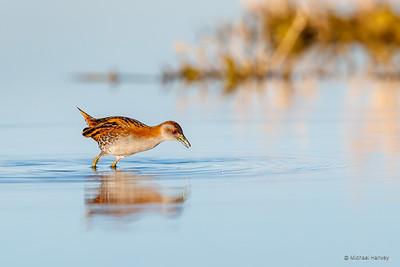 Crakes, Rails, Waterfowl, Woodhen