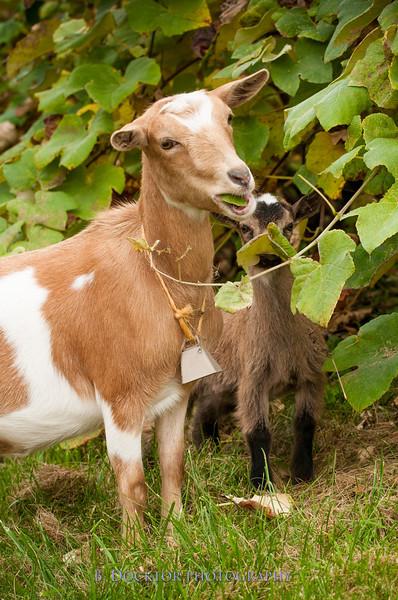 1310_Nigerian dwarf goats_063.jpg