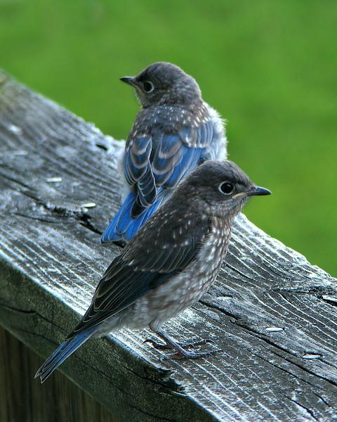 bluebird_fledgling_4539.jpg