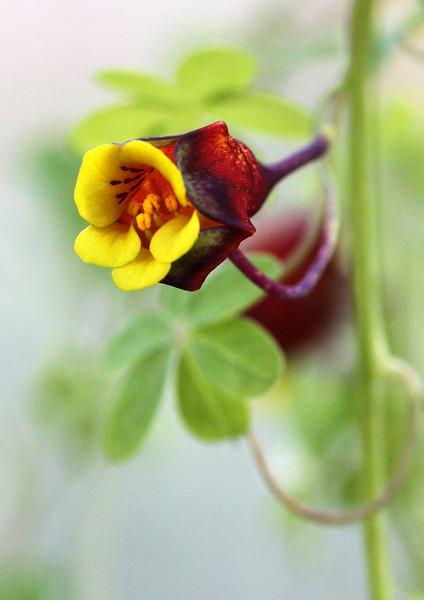 Tropaeolum tricolor.jpg