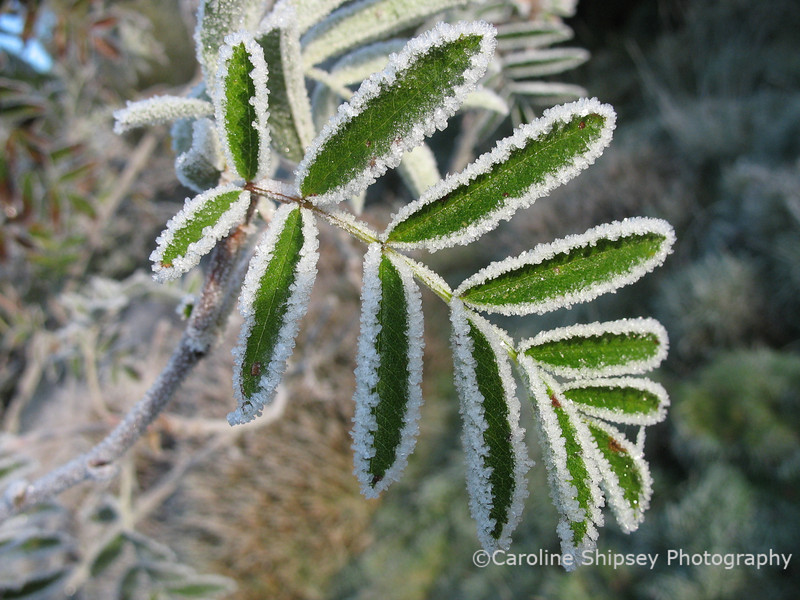 Leaves with frost 2