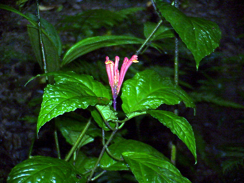 Shrimp plant species at Rancho Naturalista Costa Rica 2-13-03 (50898276)