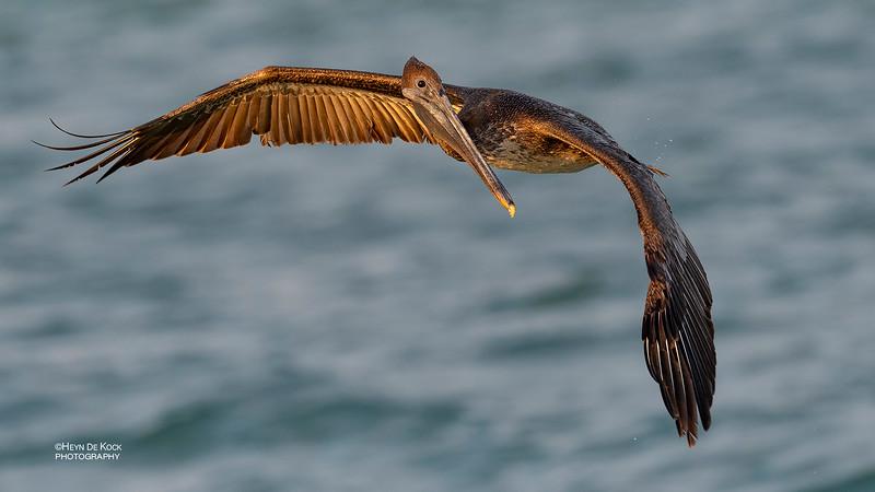 Brown Pelican, juv, Fort De Soto, St Petersburg, FL, USA, May 2018-4.jpg