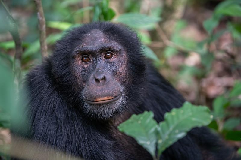 Uganda_T_Chimps-575.jpg