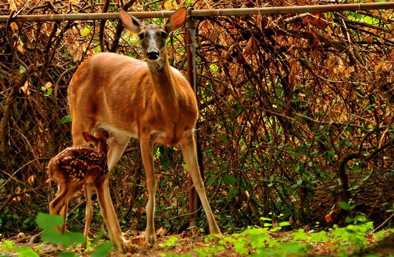 Deer 07-08-2012 4.JPG