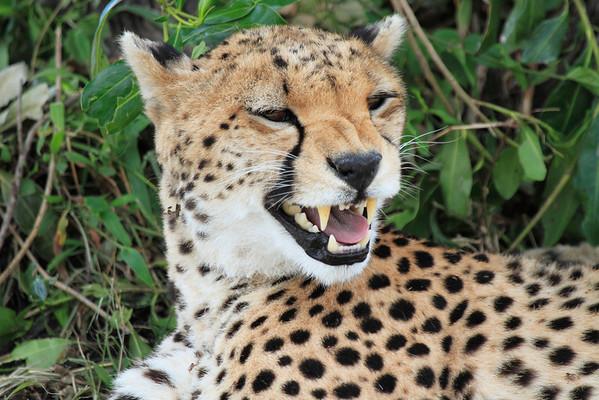 Cheetah Mara Reserve Kenya 2012