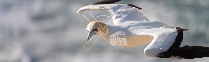 close up of australasian gannet in flight looking for its nest at the muriwai colony