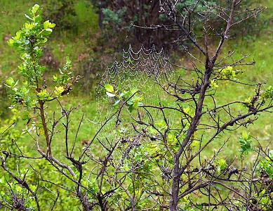 Gray Pine Flat Loop