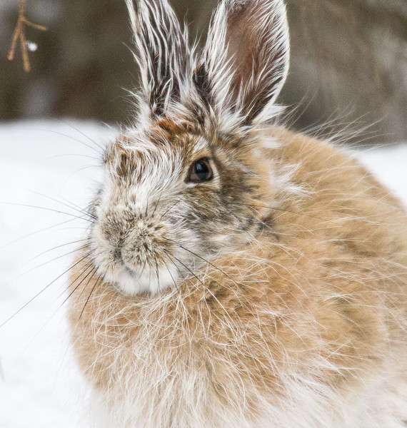 Snowshoe Hare Warren Nelson Memorial Bog Sax-Zim Bog MN IMG_0801.jpg