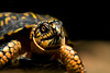 Close up of a box turtle. Photography fine art photo prints print photos photograph photographs image images artwork.