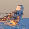 Snowy Owl, Long Island, New York  This photograph is protected by the U.S. Copyright Laws and shall not to be downloaded or reproduced by any means without the formal written permission of Bob Arkow Photography.