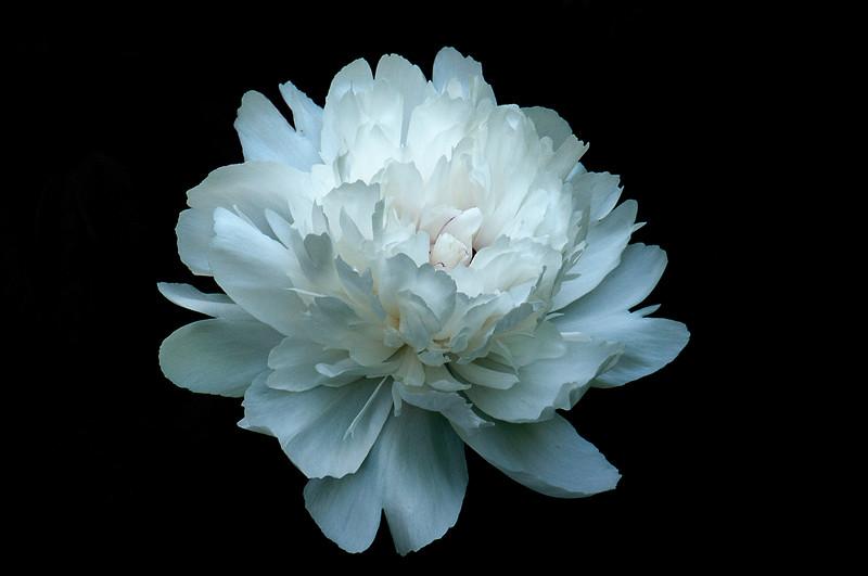 407 Flower Peony MAT_4820.jpg