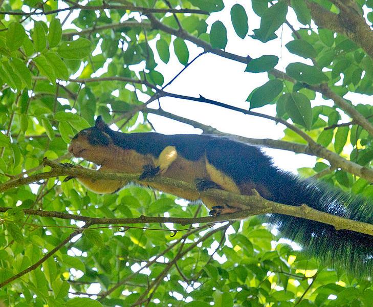 """Giant Squirrel (""""Dadu Lena"""")"""