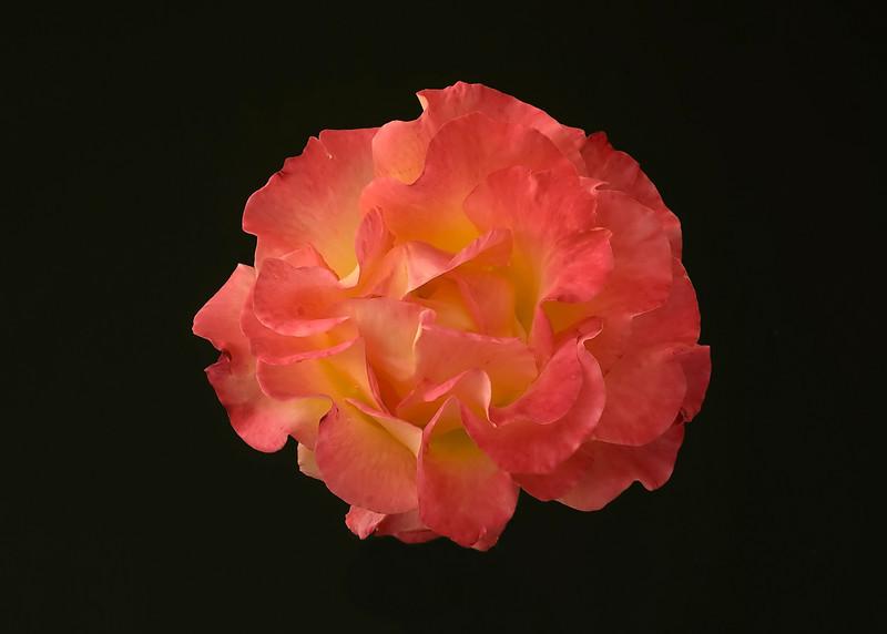 floating rose.jpg