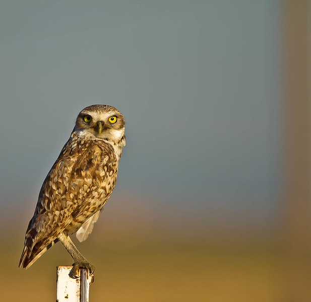 Burrowing Owl.jpg
