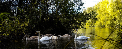 Lake swans brush strokes