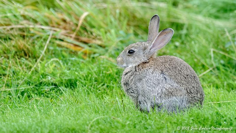 Vildkanin (Oryctolagus cuniculus - European rabbit)