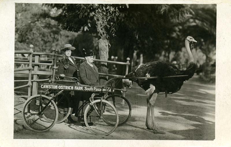 Ostrich Tow Ride