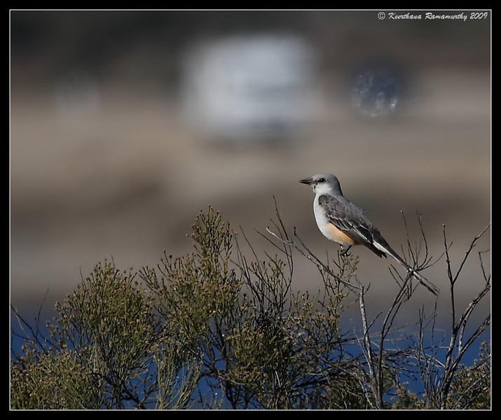 Scissor-tailed Flycatcher, Sea World Drive, San Diego County, California, November 2009