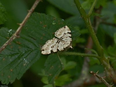 Green Carpet (Colostygia pectinataria)