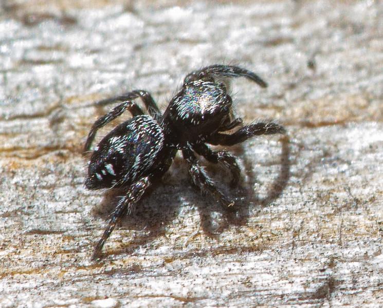 jumping spider Fringed Gentian Bog Sax-Zim Bog MN  IMG_0718.jpg