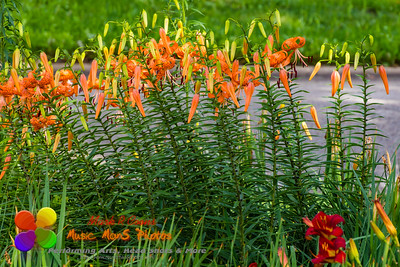 tiger lilies are popping out all over