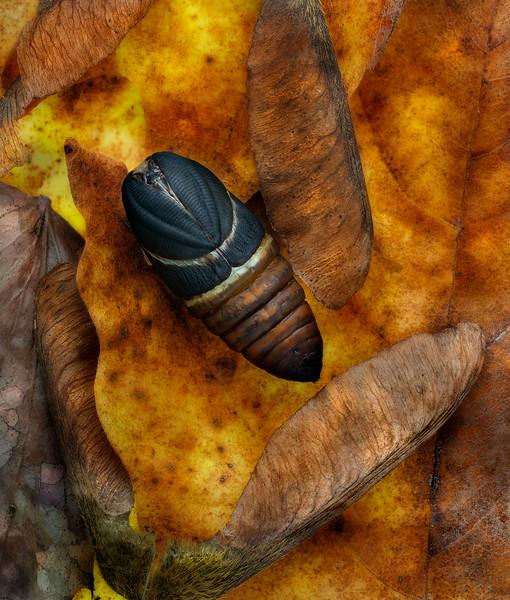 Antheraea polyphemus Pupa