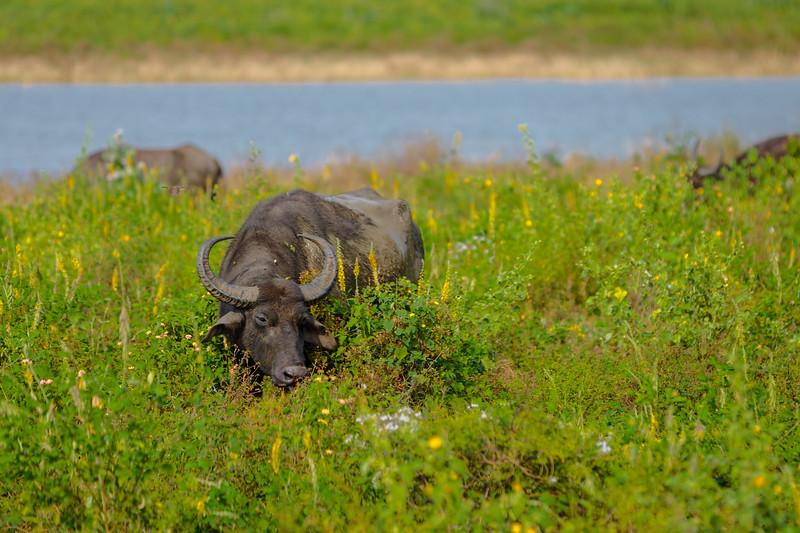 Buffalo in Undwalawe National Park