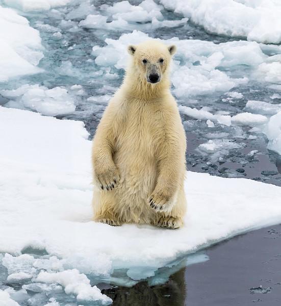 Arctic-Russebukta-PolarBear_Upright.jpg