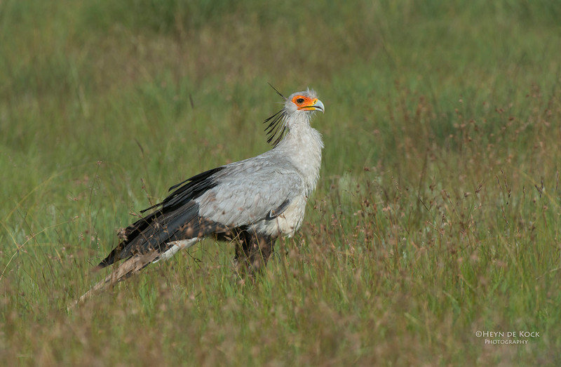 Secretary Bird, Golden Gate NP, FS, SA, Jan-2014-1.jpg