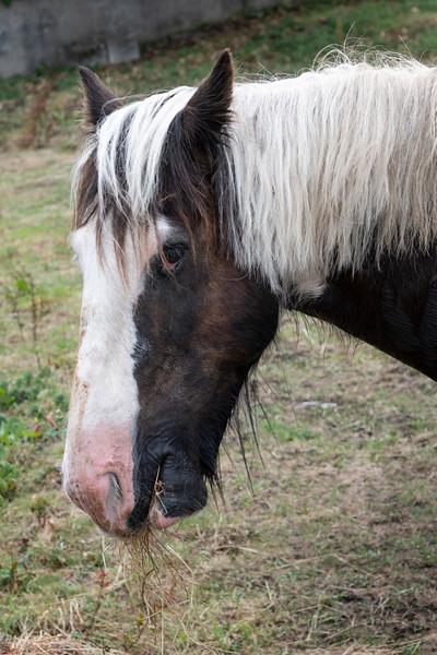 Side view of a horse, Kilronan, Inishmore, Aran Islands, County Galway, Ireland