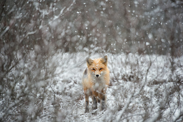 Ref Fox in Snow