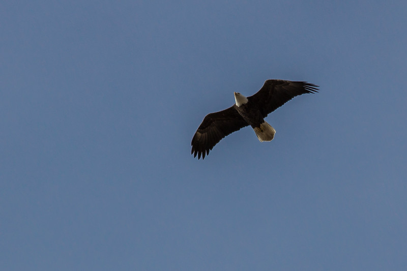 Eagle Soaring up-7155.jpg