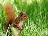 Cheeky red squirrel