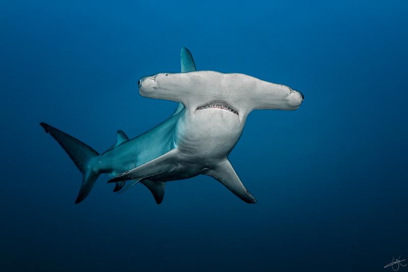 Grand requin marteau