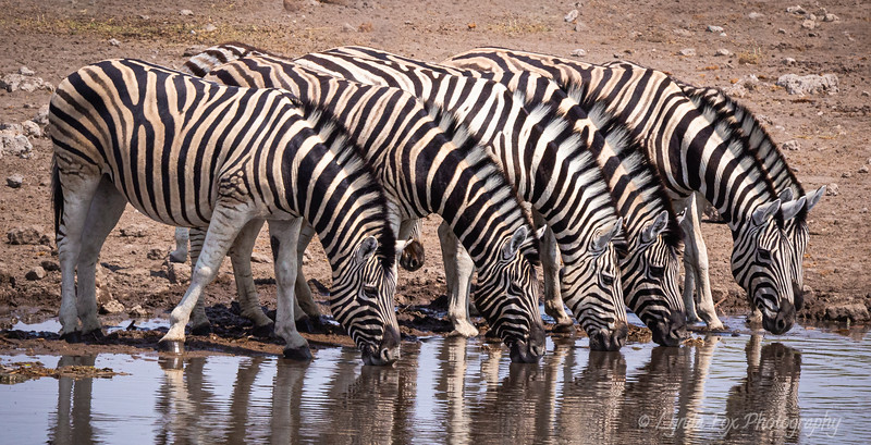 Zebras Drinking Together