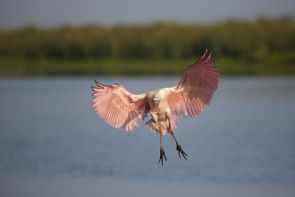 20140522 Roseate Spoonbill Airlines